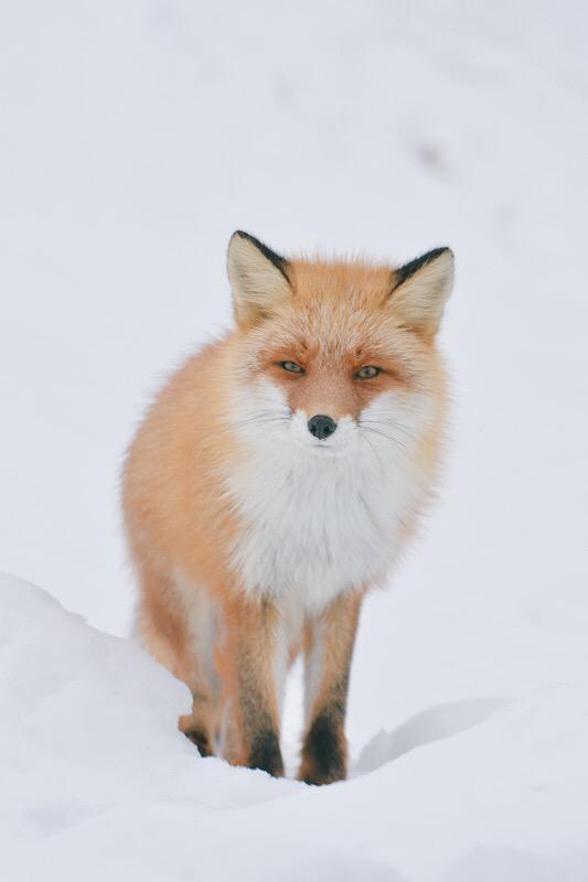 Hokkaido Red Fox 5