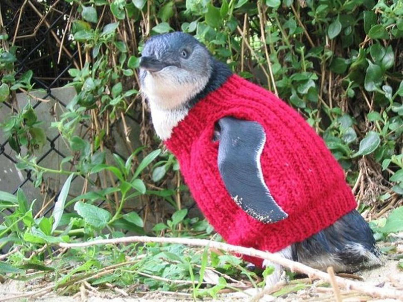 Penguin In Red Sweater