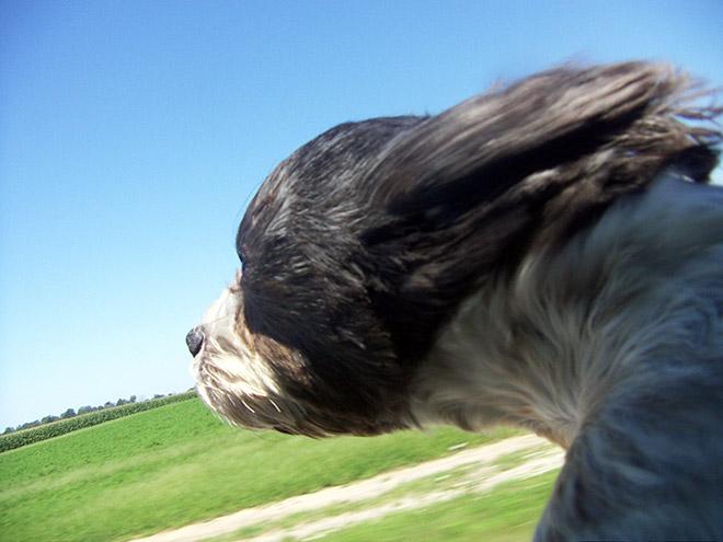 Dog Car Ride 10