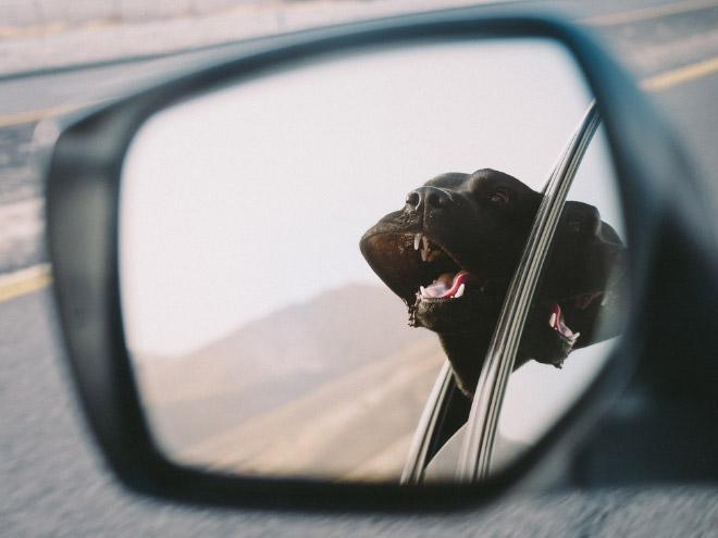 Dog Car Ride 12