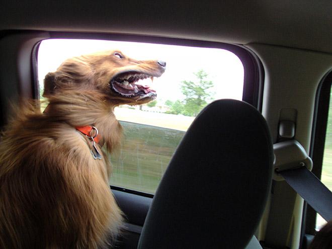 Dog Car Ride 15