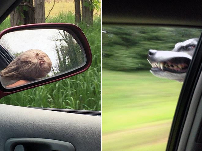 Dog Car Ride 5