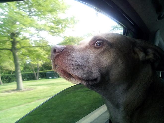Dog Car Ride 9